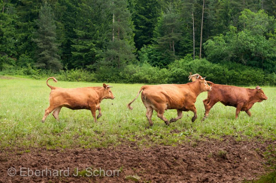galoppierende Rinder auf eine Weide