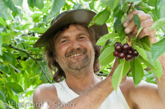 Bauer bei der Kirschenernte
