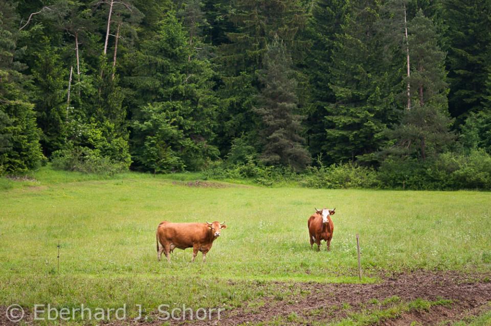 zwei Rinder auf der Weide vor einem Wald