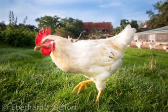 Ein einzelner Hahn stolziert über die Wiese