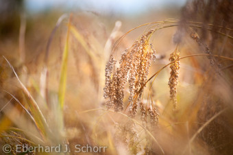 Reife Hirse auf einem Acker vom Biohof Schubert, Franken