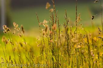 Atmosphärische Aufnahme von blühenden Gräsern im Abendlicht