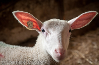 Portraitaufnahme eines einzelnen Lammes im Freilaufstall des Biohofs Ertel