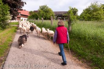 Schäferin Erika Ertel bringt zusammen mit ihrem Hütehund die Schafherde zum Biohof