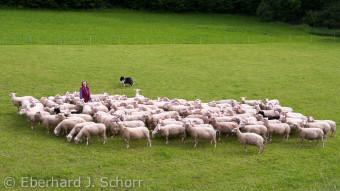 Die Schäferin Erika Ertel steht auf der Weide und ihr Hütehund treibt die Schafe zu ihr hin