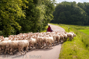 Die Schäferin Erika Ertel geht ihrer Schafherde voran.
