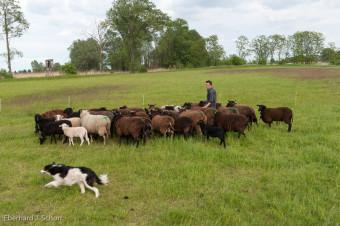Hütehund Blitz bei der Schafherde