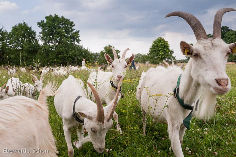 Ziegen – Foto: Eberhard J. Schorr