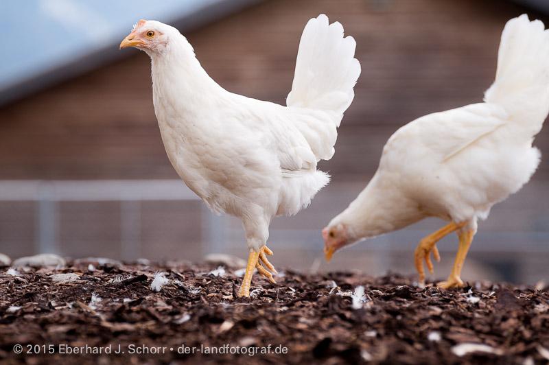 junge Hennen