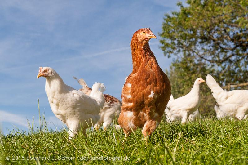 Junge Hennen im Freiland,