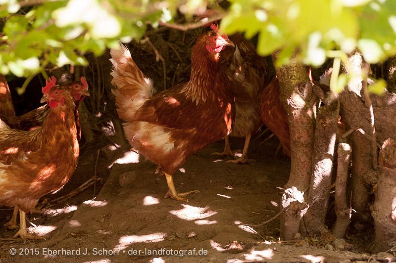 Hennen verstecken sich unter Sträucher