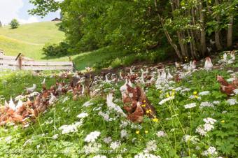 Hühner im Freiland, Schweiz