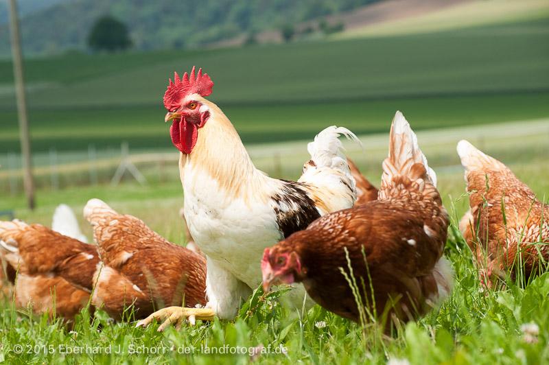 Hahn und Hennen auf der Weide