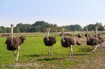 Eine Herde von Straußen in Brandenburg
