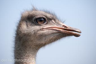 Ein Vogel Strauß im Profil