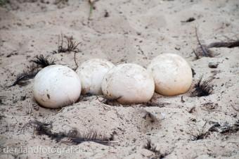 vier Straußeneier in einem Gelege auf der blanken Erde