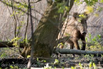 einzelnes Wildschwein an der Havel