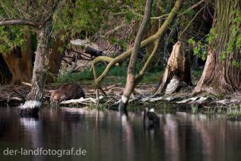 Ein Biber im Wasser, Havel, Brandenburg
