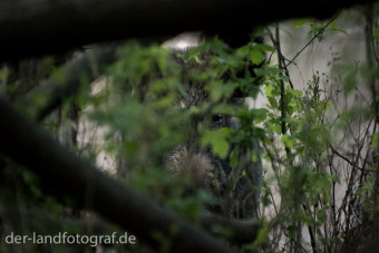 Eine Bache am Ufer der Havel mit ihren Frischlingen