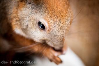 Krankes Eichhörnchen frisst eine Nuss