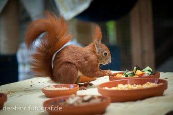 Ein Eichhörnchen sitzt zwischen Schalen mit verschiedenen Futter