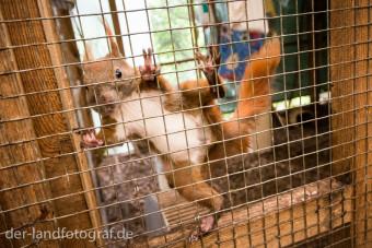 Ein Eichhörnchen klettert an dem Gitter der Voliere hoch