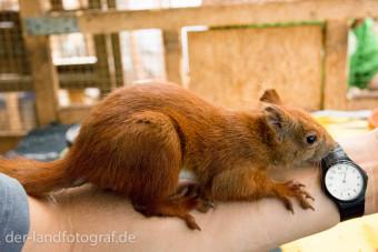 Ein Einhörnchen sitzt auf meinem Unterarm und inspiziert meine Armbanduhr