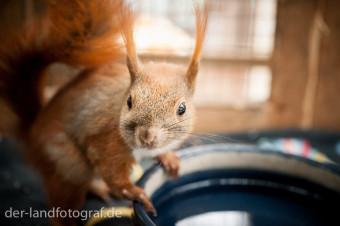 Das Eichhörnchen hält sich an der Wasserschüssel fest und blickt direkt in die Kamera