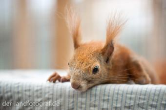 Diesem Eichhörnchen geht es noch sehr schlecht. Es liegt ermattet auf einem Tuch.