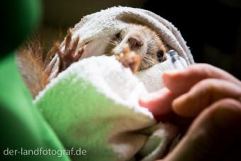 Das Eichhörnchen ist in Tüchern fest eingebunden, weil es gleich eine Spritze bekommen wird.