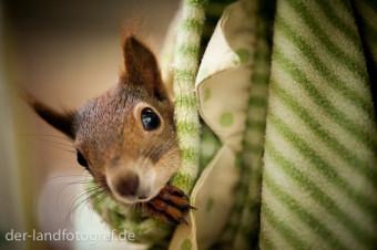 Ein Eichhörnchen guckt neugierig aus einem Tuch, das wie eine Tasche von der Decke hängt.