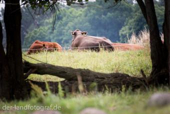 Kuh auf der Weide mit dem Rücken zum Betrachter - aber sie kann uns sehen
