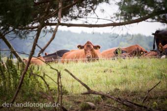 Eine der Kühe beobachtet uns