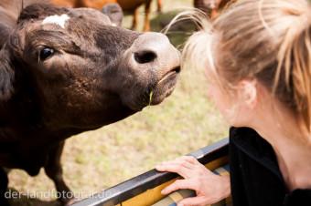 Die Kuh nimmt immer auch Witterung auf und hält ihre große Nase in die Luft