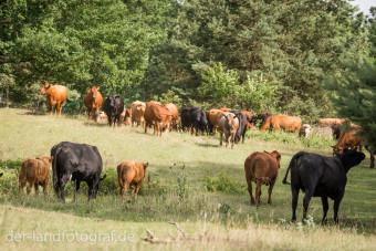 Die Kuhherde zieht gemächlich über die Weide