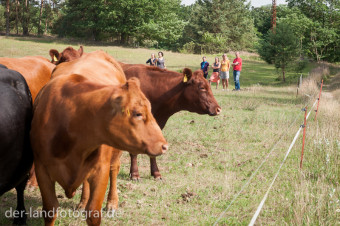 Die Kühe beobachten die Gruppe