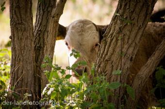 Ein Kalb steht hinter Bäumen und beobachtet den Fotografen