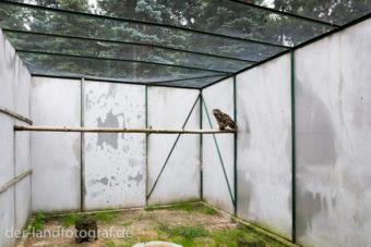 Ein Uhu sitzt auf einem Balken in der Voliere