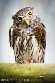Ein Sperlingskauz mit gebrochenem Flügel sitzt auf einer Stange in einem Gehege