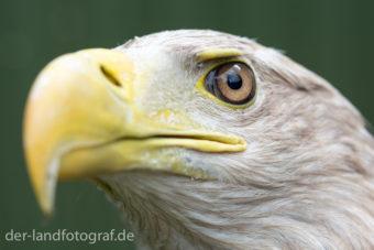 Der Kopf eines Seeadlers mit seinem imposanten Schnabel und den scharfen Augen