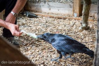 Torsten Polack füttert den Kolkraben