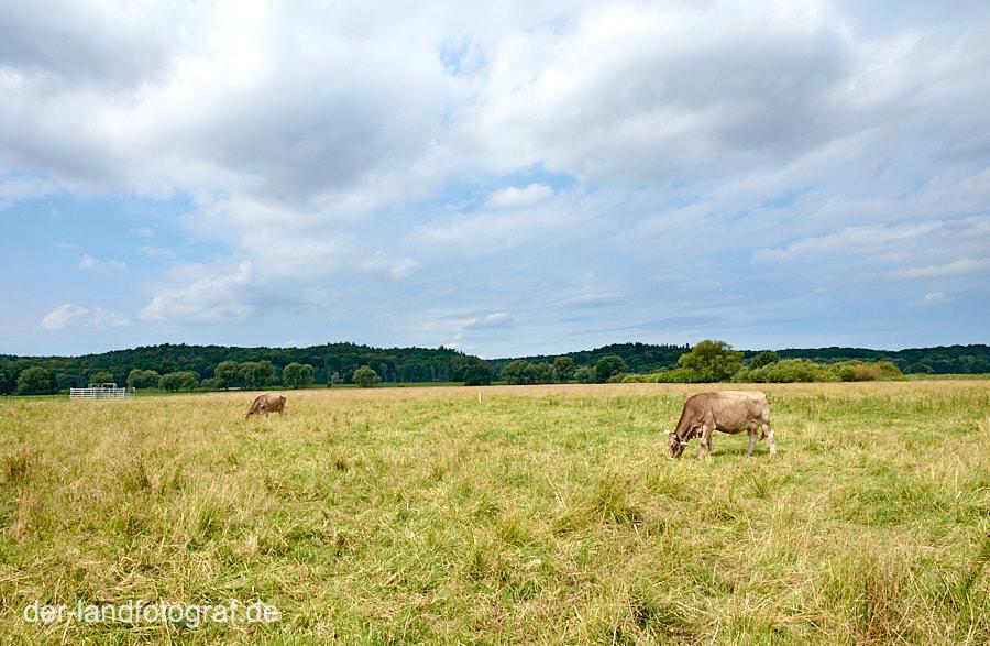 Ammenkühe auf der Weide