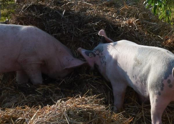 zwei Schweine stehen im Schatten eines Strohballens
