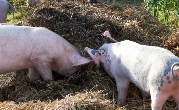 Der Schattenbereich des Fotos (zwei Schweine stehen im Schatten eines Strohballens) ist nun selektiv aufgehellt worden