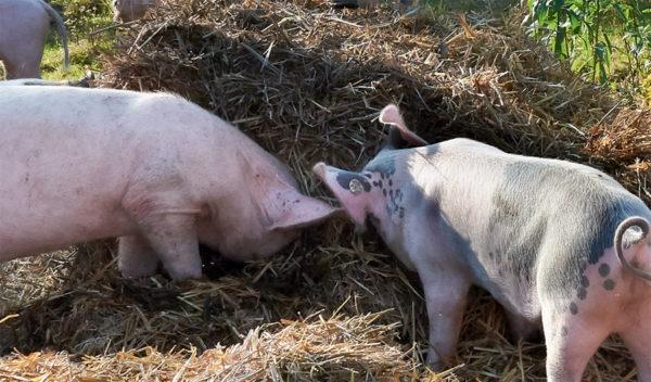 nach der selektiven Bearbeitung des Motivs (zwei Schweine stehen im Schatten eines Strohballens) kann man die Schweine besser erkennen