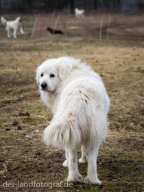Ein Herdenschutzhund mit weissen langen Fell, Rasse Pyrenäenberghunde