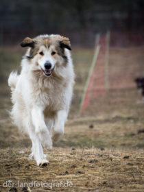 Ein Herdenschutzhund rennt
