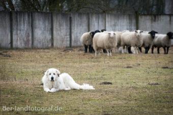 Herdenschutzhund liegt auf der Weide vor seinen Schafen