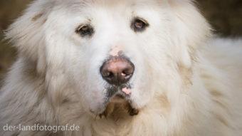 Portrait eines Herdenschutzhundes mit weissen langen Fell
