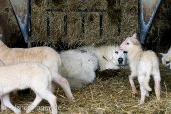 Herdenschutzhunde im Stall bei den Schafen